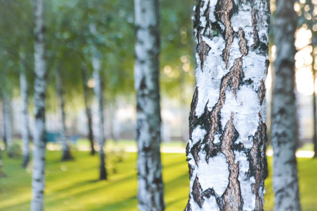 Birches in the park