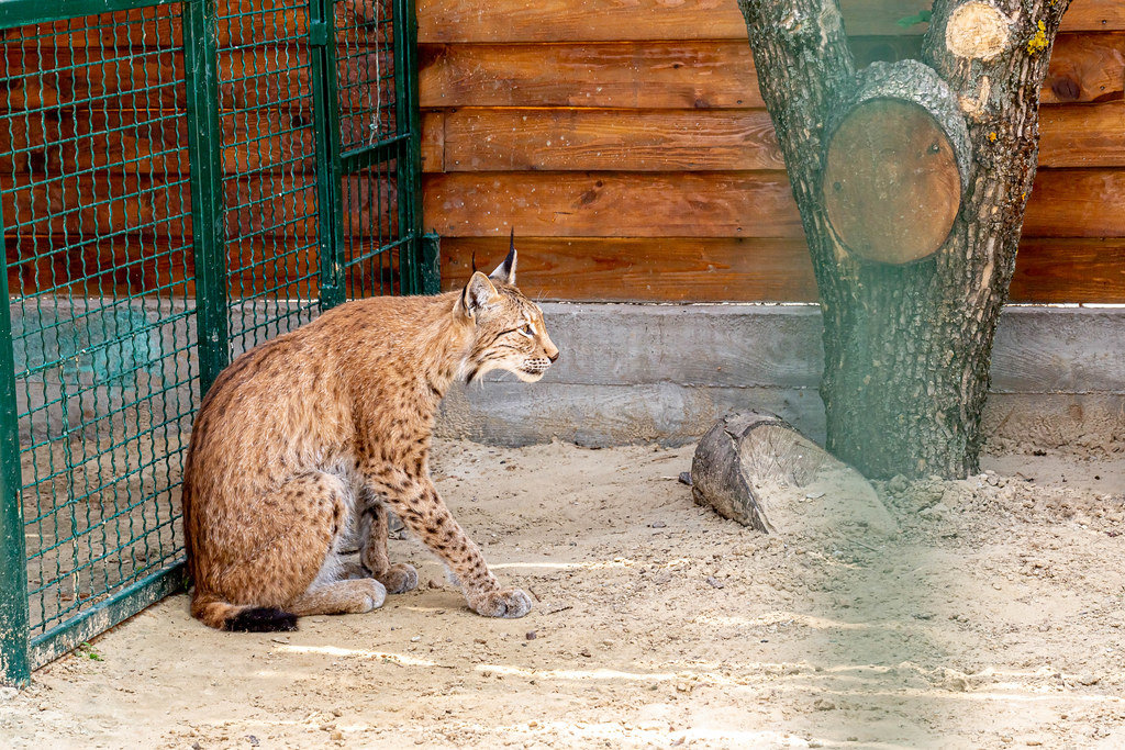 Rare predator lynx sits in a metal cage in ecopark