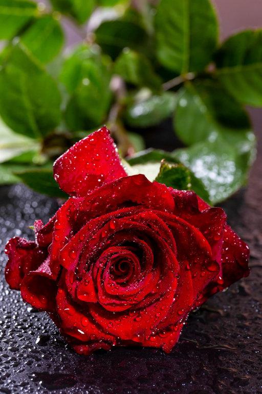 Romantic red flower on dark background