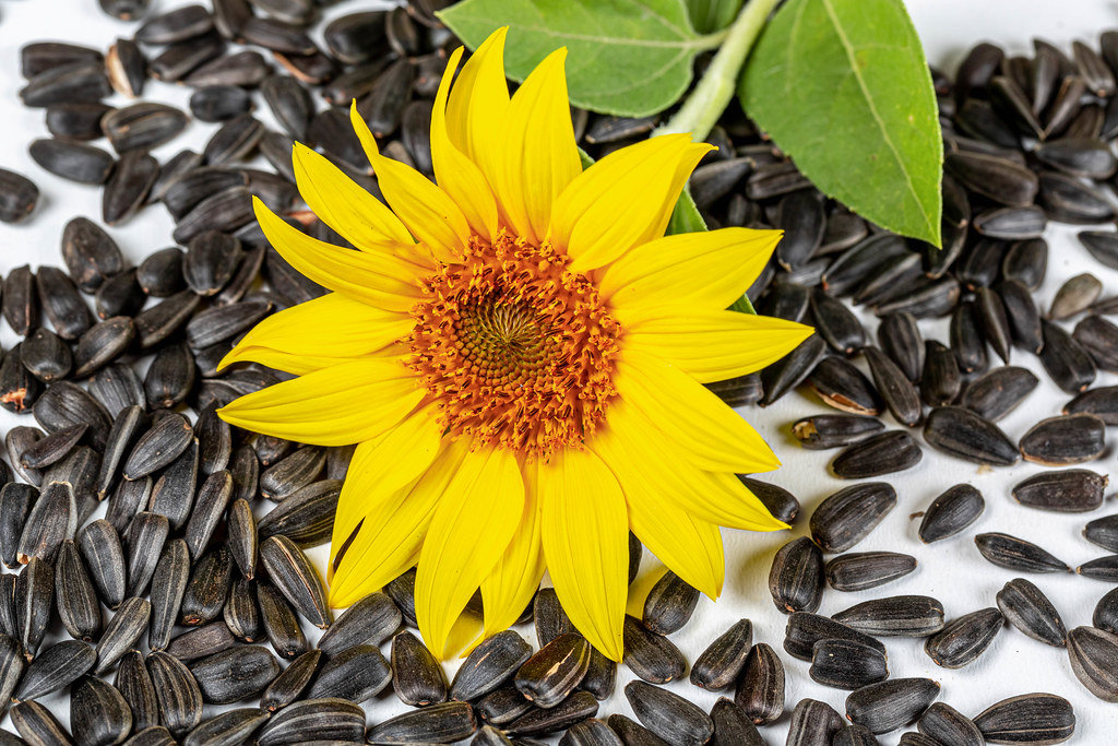 Yellow sunflower and sunflower seeds