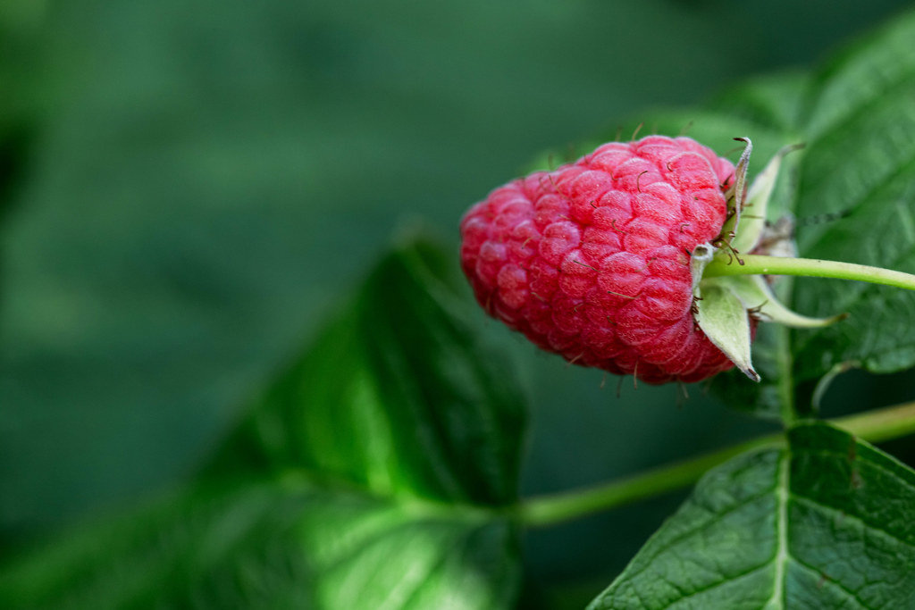 Pink ripe raspberry on a bush with green leaves