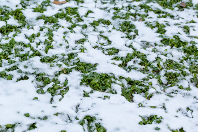 Nature background. First snow on the green grass