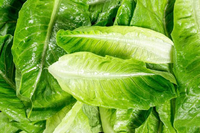 Wet leaves of fresh Romaine lettuce
