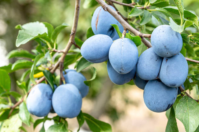 Ripe blue plums on tree branches