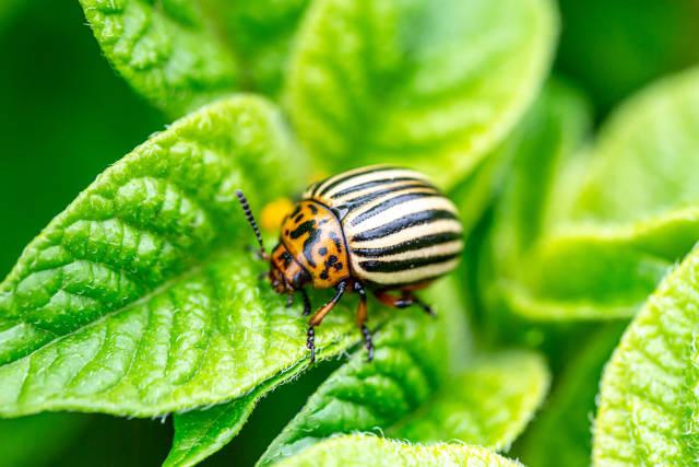 Close-up of a Colorado beetle on a potato leaf