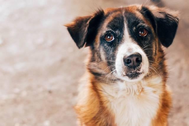 Entzückender braun-weißer Hund bettelt mit dem bekannten Hundeblick nach Futter