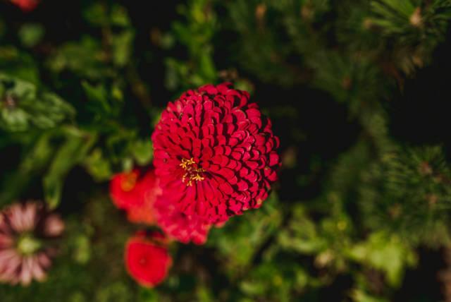Zinnia elegans or Zinnia Benarys Giant Red  Zinnia Flower Top View Close Up