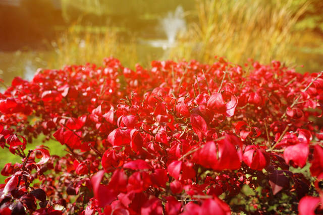 Euonymus alatus, known as winged spindle, winged euonymus, or burning bush