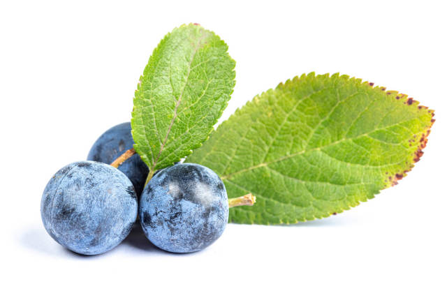 Three of fresh blackthorn berries with leaves on white background