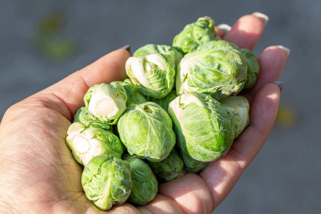 Fresh Brussels sprouts in a womans hand