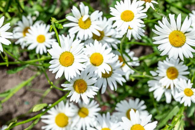 White flowers chamomile garden