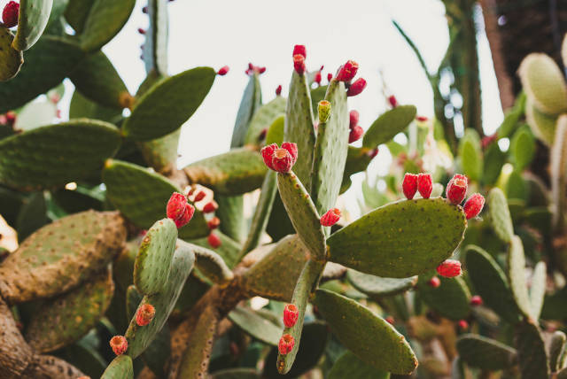 Close Up Of Cactus And Prickly Pears