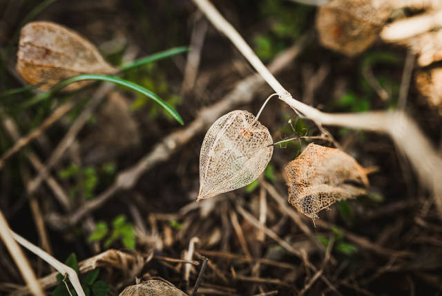 Close Up Of Dried Physalis On The Ground