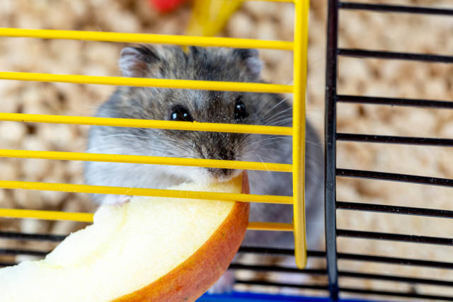 Close-up of grey hamster nibbling a piece of Apple in a cage