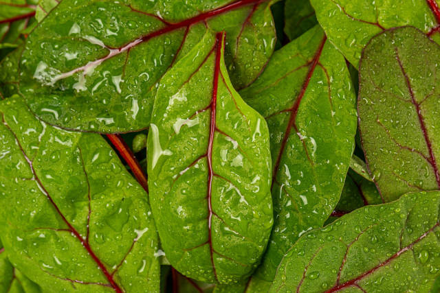 Background from green leaves mangold with water drops