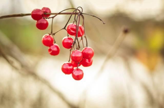 Ein Zweig reifer roter Johannisbeeren in Nahaufnahme