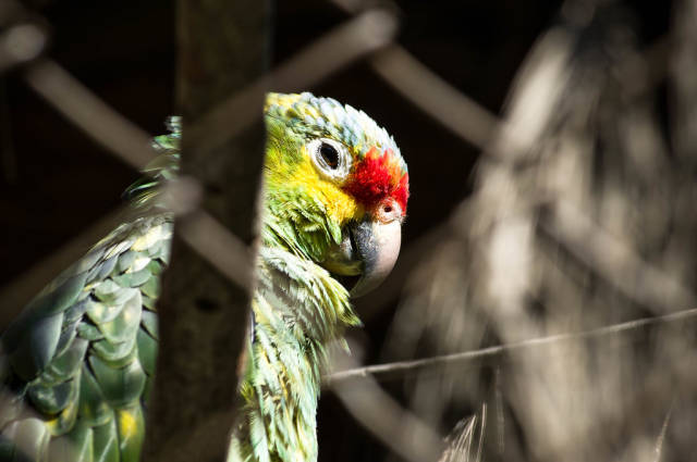 Red-lored amazon parrot face