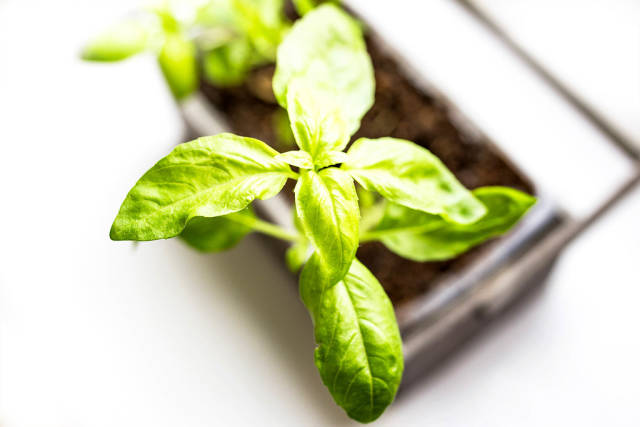 Top view of fresh basil leaves in a pot on white background