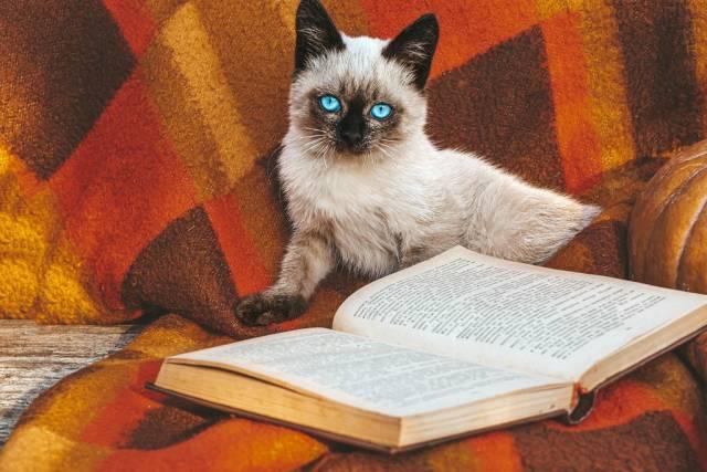 Siamesische Babykatze sitzt vor einem offenen Buch auf einer roten Decke