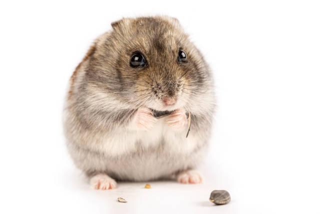 Gray hamster eating sunflower seed