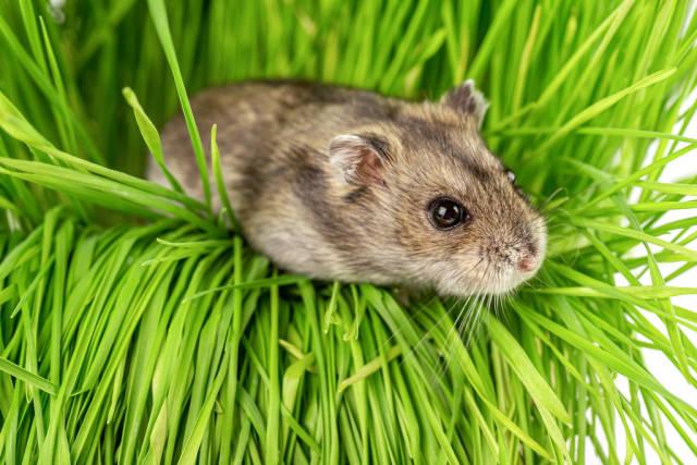 Dwarf gray hamster on the green grass