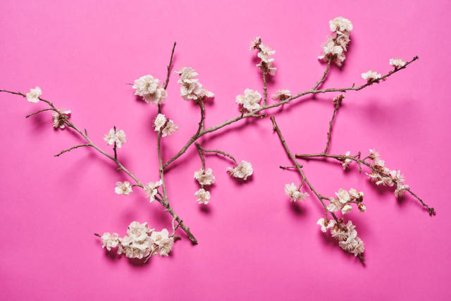 Blossoming apricot tree branches on pink background