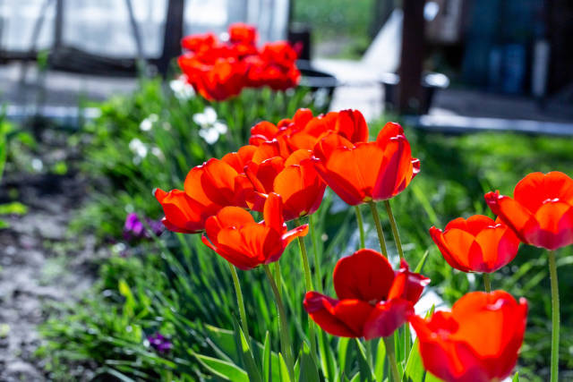 Red tulips in bloom-spring concept
