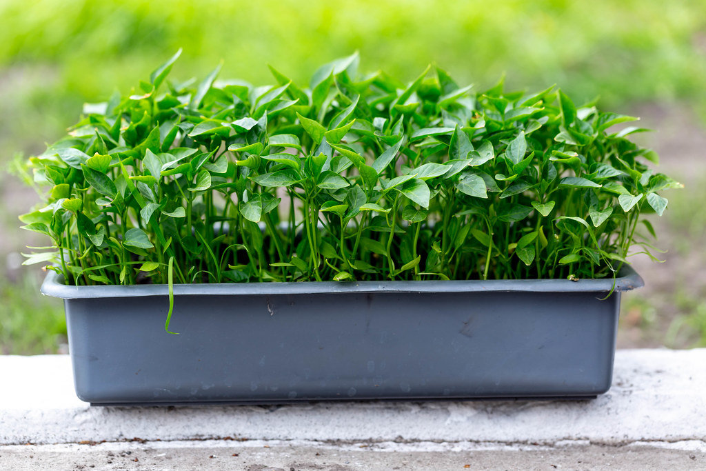 The container with the seedlings of sweet pepper