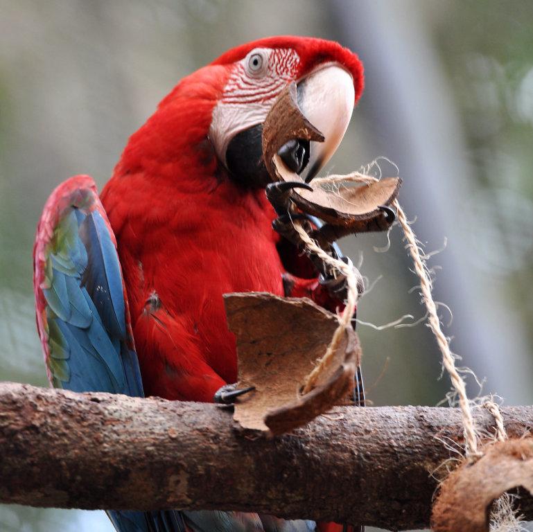 Roter Ara (Papagei) im Parque das Aves (Vogelpark) in Brasilien