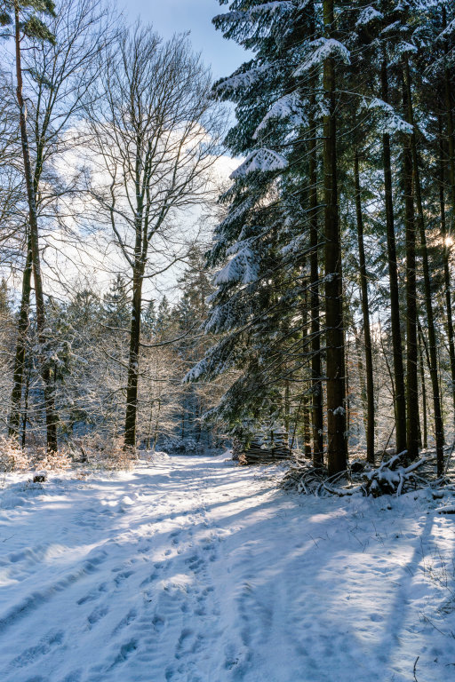 Forest path in winter with the sun shining through tall pine trees