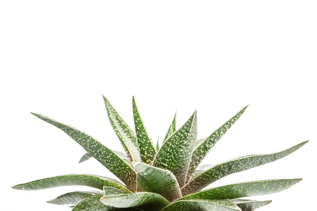 Haworthia - compact succulent houseplant on white