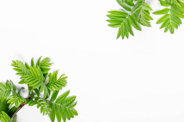 Branches with green leaves on a white background. Top view