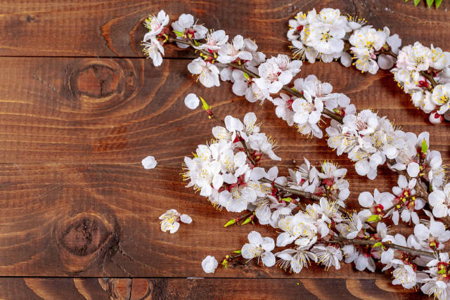 Sprigs of a apricot with flowers on wooden background