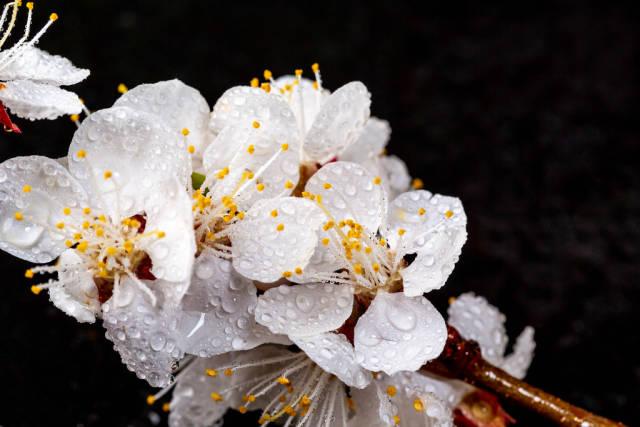 Beautiful apricot flowers on black background