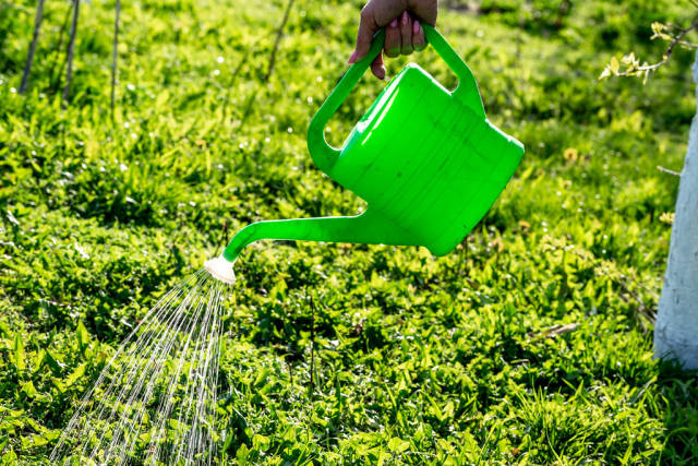Female hand holding a water can and watering the grass
