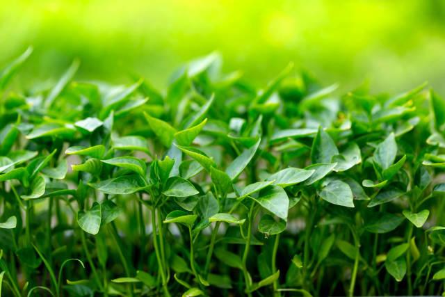 Close-up of pepper seedlings
