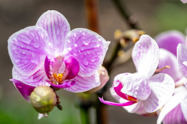 Orchid pink with water drops