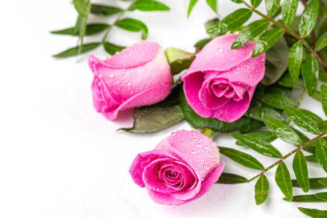 Pink roses and green leaves with drops