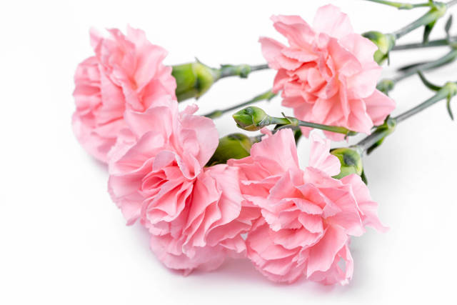 Pink carnation flowers on white, close-up