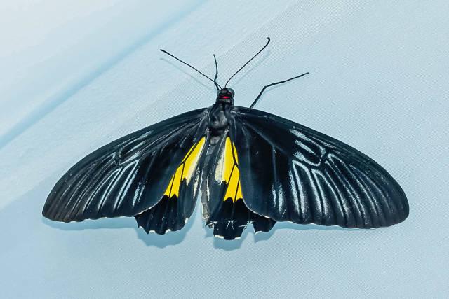 tropical butterfly Troides rhadamantus