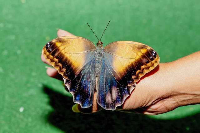 Caligo memnon butterfly sits on her hand with her wings spread