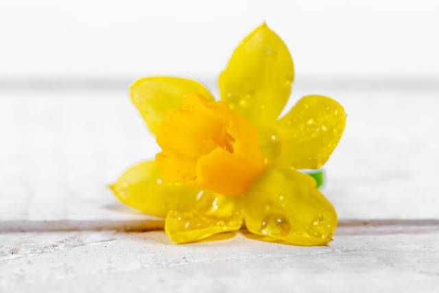 Yellow daffodil on white wooden background