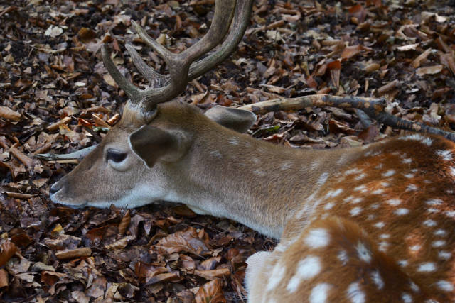 A deer laying peacefully on the forest floor