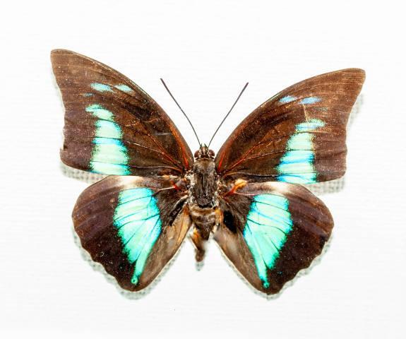 A real live butterfly Morpho deidamia