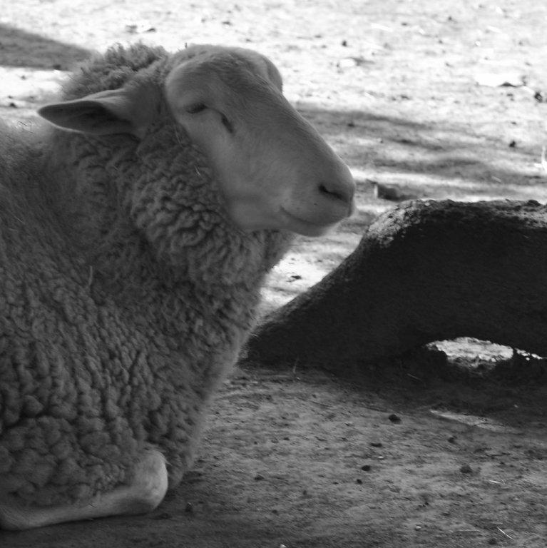 Schaf im Lindenthaler Tierpark