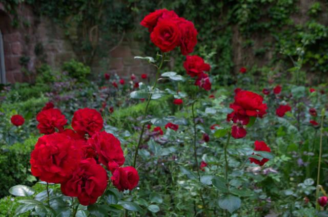 Konrad-Adenauer-Rose