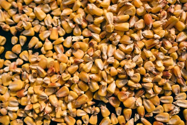 Pile of corn seed