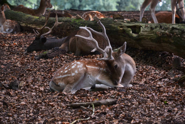 A deer laying in the fallen leaves