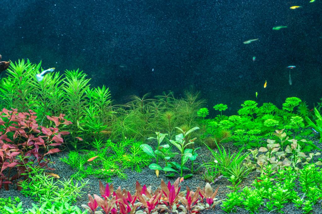 Aquarium plants of different types in a freshwater aquarium