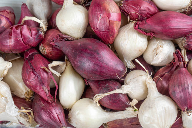 Background of white and purple small onion bulbs for planting, close-up